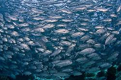Massive, densely packed school of Bigeye Trevally, Caranx sexfasciatus. Balicasag Island, Visayan Sea, Philippines, Pacific Ocean