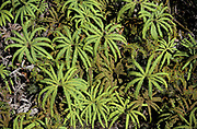 Umbrella Fern, Sticherus cunninghamii, New Zealand, found in lowland to mountainous forests, native fern characterised by its drooping fronds that resemble an umbrella