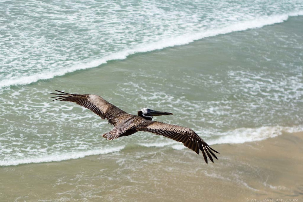 The endangered Brown Pelican.