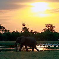 Africa, Botswana, Savute. Elephants of Savute in Chobe National Park.