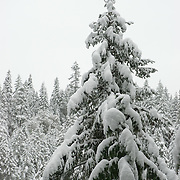 Each year the Cascade Mountains receive a lot of snow.  Crater Lake which is not too far away averages 533 inches (44 feet) of snow a year. Fresh snow fills the trees weighing the branches down.