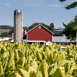 Tobacco crop groing in a farm field in Lancaster County, Pennsylvania, is neary ready for harvest.