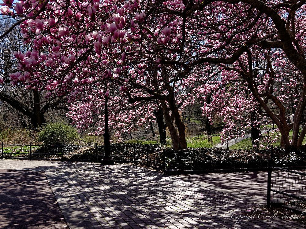 Magnolia blossoms at The Obelisk in Central Park