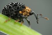 Auf der Braunwurz vorkommender Braunwurzschaber (Cionus tuberculosus)