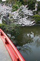 Tsurugaoka Hachimangu Shrine Pond Sakura- A cherry blossom is the flower of any of several trees of genus Prunus, particularly the Japanese Cherry, Prunus serrulata, which is called sakura in Japanese.  Japan has a wide variety of cherry blossoms with well over 200 types can be found there.[ The most popular variety of cherry blossom in Japan is the Somei Yoshino. Its flowers are nearly white, tinged with the palest pink, and bloom and fall within a week, before the leaves come out.