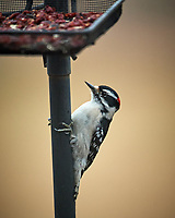 Downy Woodpecker. Image taken with a Nikon D5 camera and 600 mm f/4 VR lens (ISO 1600, 600 mm, f/4, 1/320 sec)