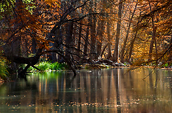 Stock photo of cypress trees during fall lining the banks of a river in the Texas Hill Country