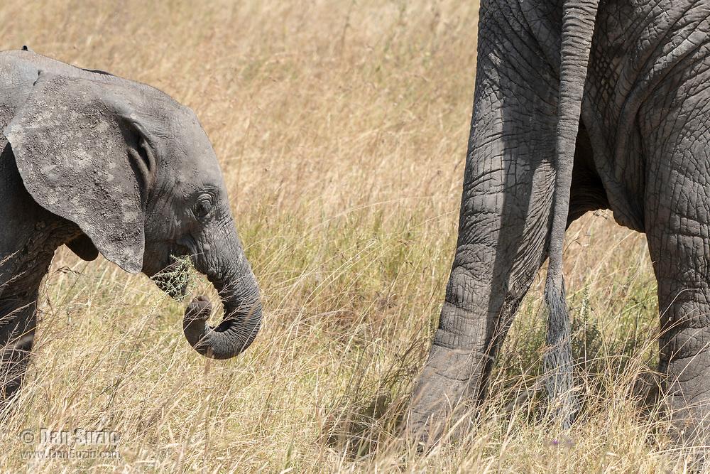 A baby African Elephant, Loxodonta africana, follows the herd in Serengeti National Park, Tanzania
