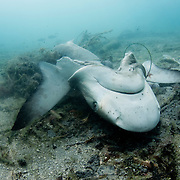 In 2011 The Bahamas was declared a shark sanctuary, banning the killing of sharks. The ban would not have happened if sharks didn't attract tourist revenue. This Caribbean reef shark (Carcharhinus perezi) was killed despite the ban in 2013. The law and the perception of sharks has a gap that is slowly being filled as more local Bahamians reap the rewards of shark tourism.