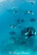 reef manta rays, Manta alfredi (formerly Manta birostris ), mass feeding on plankton, while a snorkeler floating at the surface observes, Hanifaru Bay, Baa Atoll, Maldives ( Indian Ocean )