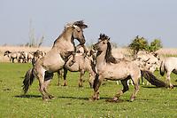 Konik horse stallions fighting. Oostvaardersplassen, Netherlands. Mission: Oostervaardersplassen, Netherlands, June 2009.