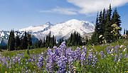 Morning sun hits Mount Rainier (14,411 feet elevation) and lupine flowers near Sunrise Visitor Center in Mount Rainier National Park, Washington, USA. Lupinus is a genus in the pea family (also called the legume, bean, or pulse family, Latin name Fabaceae or Leguminosae).