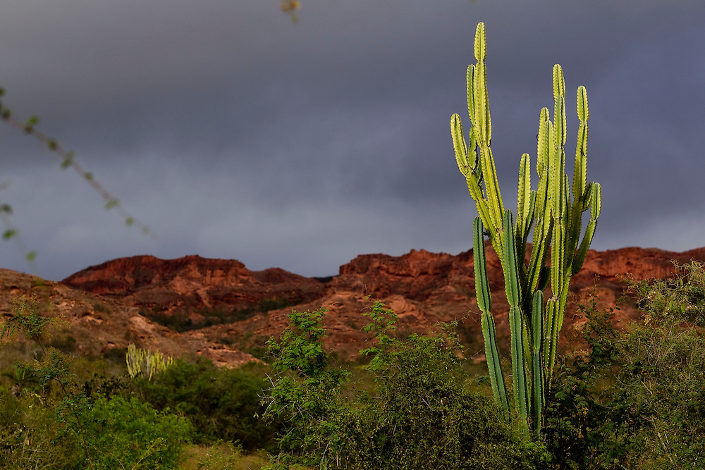 Canudos_BA, Brasil.<br /> <br /> A Estacao Biologica de Canudos e uma reserva biologica particular, com area de 1477 hectares localizados no sertao do estado da Bahia. Pertencente a ONG Biodiversitas, a reserva foi criada em 1989 com a finalidade de garantir a preservacao da arara-azul-de-lear (Anodorhynchus leari). Esta ave e endemica na caatinga baiana e encontra-se ameacada de extincao. <br /> <br /> <br /> Lear's Macaw Canudos Reserve and a particular biological reserve, with an area of 1477 hectares located in Bahia. Belonging to NGOs Biodiversitas, the reserve was created in 1989 for Macaw of Lear preservation. <br /> <br /> Foto: JOAO MARCOS ROSA / NITRO