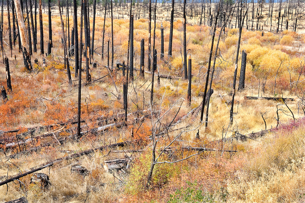 autumn grassy field and forest recovering from fire, Eastern Oregon