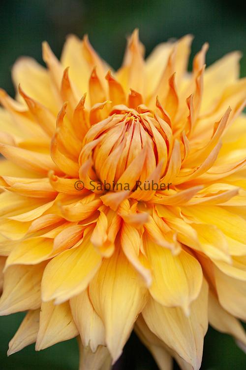 Dahlia 'Hamari Gold' - decorative dahlia