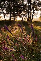 Purple Loosestrife (Lythrum salicaria) at sunrise at Etang des Boires at the river Allier. Pont-du-Chateau, Auvergne, France.