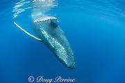 humpback whale, Megaptera novaeangliae, female followed by calf coming in for a close look; A'u A'u Channel, off Lahaina, West Maui, Hawaii, Hawaii Humpback Whale National Marine Sanctuary, USA ( Central Pacific Ocean )