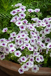 Pots of Phlox drummondii '21st Century Blue Star' - 21st century series
