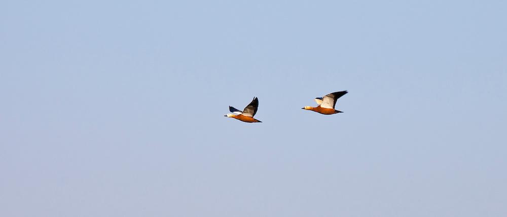 Ruddy Shelducks, Tadorna ferruginea, in flight above Ranthambhore National Park, Rajasthan, Northern India
