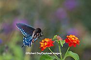 03004-01318 Pipevine Swallowtail butterfly (Battus philenor) male on Red Spread Lantana (Lantana camara) Marion Co., IL
