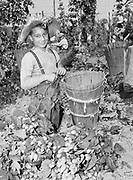 5597Boy picking hops. Theodore Pileggi, age 10, of Sherwood, Oregon on the E. Clemens Horst hop ranch near Independence, Oregon. September 1, 1942.