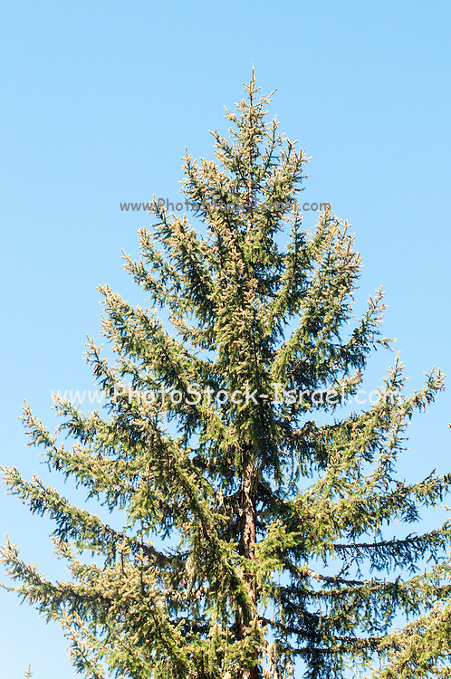 a single pine tree on blue sky background. Photographed in Tirol, Austria