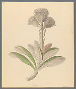 Arnica [Oldenburgia grandis] from a collection of ' Drawings of plants collected at Cape Town ' by Clemenz Heinrich, Wehdemann, 1762-1835 Collected and drawn in the Cape Colony, South Africa