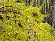 Western Larch, Larix occidentalis, growing near Fish Creek west of Lake McDonald, Glacier National Park, Montana.