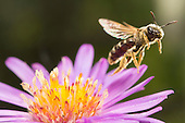 The Beauty of Native Bees