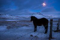 GRUNDARFJOROUR, ICELAND - CIRCA MARCH 2015: Icelandic horse at night near Grundarfjordur in Iceland against Kirkjufell mountain, a landmark in the Snaefellsness Peninsula.