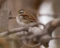 White-throated Sparrow in a tree. Image taken with a Nikon D2xs camera and 80-400 mm VR lens (ISO 400, 400 mm, f/5.6, 1/500 sec).