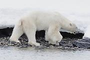 Motion-blur of a  polar bear (Ursus maritimus) walking in the snow, Spitsbergen, Northwest Coast of the Svalbard Archipelago, Norway