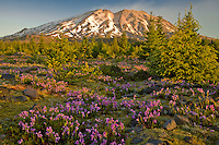 Mount St Helens at dawn from the Planes of Abraham on the south side, Mount St Helens National Monument, Gifford Pinchot National Forest, WA, USA