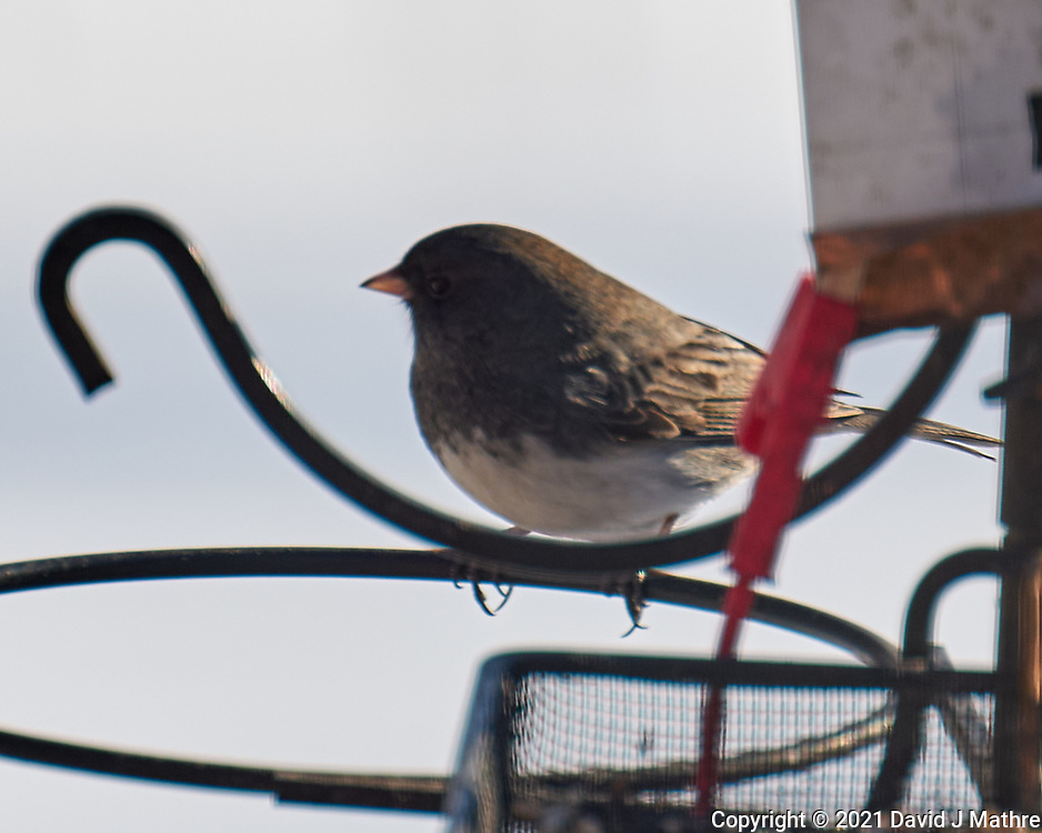 Dark-eyed Junco (Junco hyemalis). Image taken with a Leica CL camera and Sigma 100-400 mm lens.
