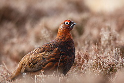 Red Grouse living before the start of the hunting season on the so called Glorious Twelfth of August (c) Peter Macdonald | Edinburgh Elite media