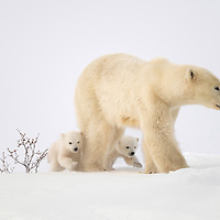 Two cubs-of-the-year walking with their mother on the tundra in Wapusk N.P. near Churchill, Manitoba, Canada