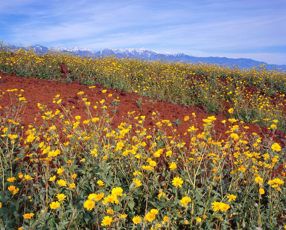 Desert Sunflowers and Telescope Peak, Death Valley National Park, California