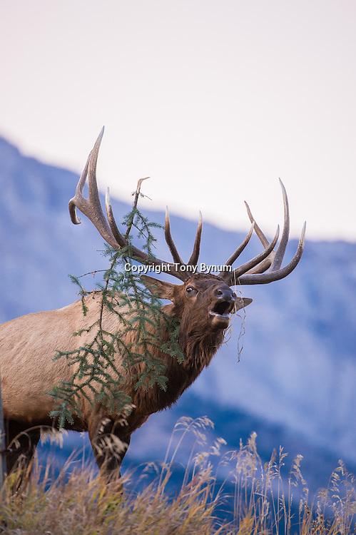 bugling bull elk with tree branch in antlers