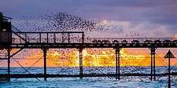 © Licensed to London News Pictures.  29/01/2019. Aberystwyth, UK. Thousands of  starlings perform their murmurations in the sky as they return from their daily feeding grounds to roost for the night on the forest  of cast iron legs underneath Aberystwyth's Victorian seaside pier. The west coast town  is one of the few urban roosts in the country and draws people from all over the UK to witness the spectacular nightly displays between October and March. Photo credit: Keith Morris/LNP