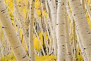 Twisted aspen trunks along Last Dollar Road near Telluride, Colorado