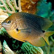 Threespot Damselfish inhabit reef tops in areas with algae in Tropical West Atlantic; picture taken Grand Turk.