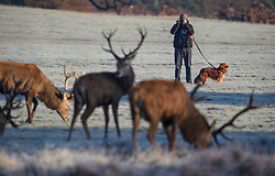 © Licensed to London News Pictures. 02/12/2019. London, UK. A dog walker stops to take pictures of deer grazing in a frost covered landscape at sunrise in Richmond Park in west London on a bright and freezing Winter morning. Photo credit: Ben Cawthra/LNP
