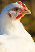 Free-range chicken of breed  Isa 257 roams freely at Sheepdrove Organic Farm , Lambourn, England