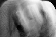 Deutschland, DEU, Berlin, 2000: Portraet eines Eisbaeren (Ursus maritimus) in Bewegung, Berliner Zoo. | Germany, DEU, Berlin, 2000: Polar bear, Ursus maritimus, portrait, in the move at night, Zoo Berlin. |