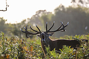A deer stag bellows during the rutting (breeding) season which takes during autumn, in Bushy Park, south-west London on Thursday, Oct 15, 2020. (VXP Photo/ Vudi Xhymshiti)