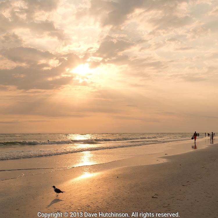 USA; Florida: Sarasota County: Sarasota: A bird and surfer walk on Lido Beach, Sarasota as the sky turns gold at sunset.