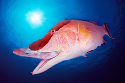 hogfish, adult, Lachnolaimus maximus, Middlegrounds, 100 miles offshore of Tampa, Florida, Gulf of Mexico ( dc )