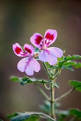 Pelargonium quercifolium syn. 'Royal Oak' - Oak leaved geranium