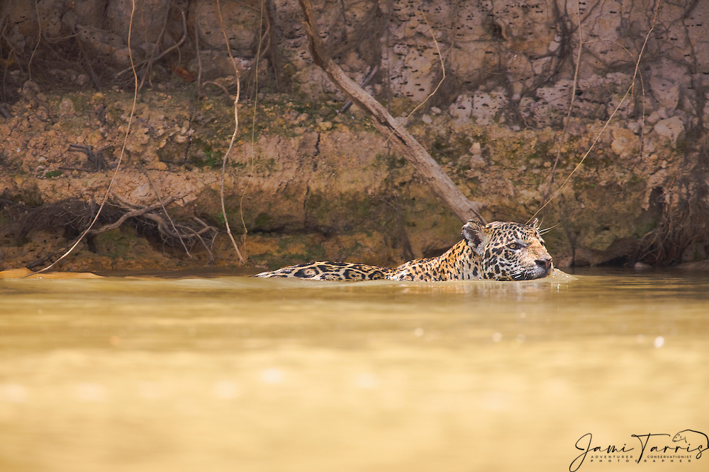 A male jaguar (Panthera onca) swims up river along the bank to find a suitable place to mate, Pantanal, Brasil,South America