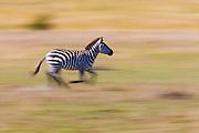 Motion blur of a zebra (Equus quagga) running across the plain of the Masai Mara,Masai Mara, Kenya,Africa